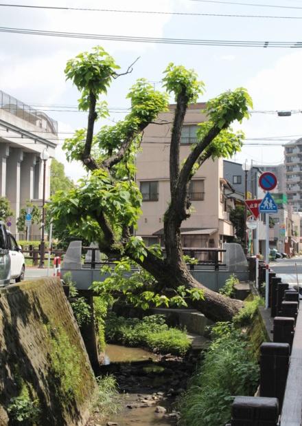 カタルパの樹