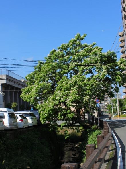 以前のカタルパの樹2